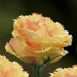 Tulip Vaya Con Dios