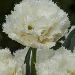 Tulpe Snow Planet