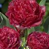 Tulip Belfort