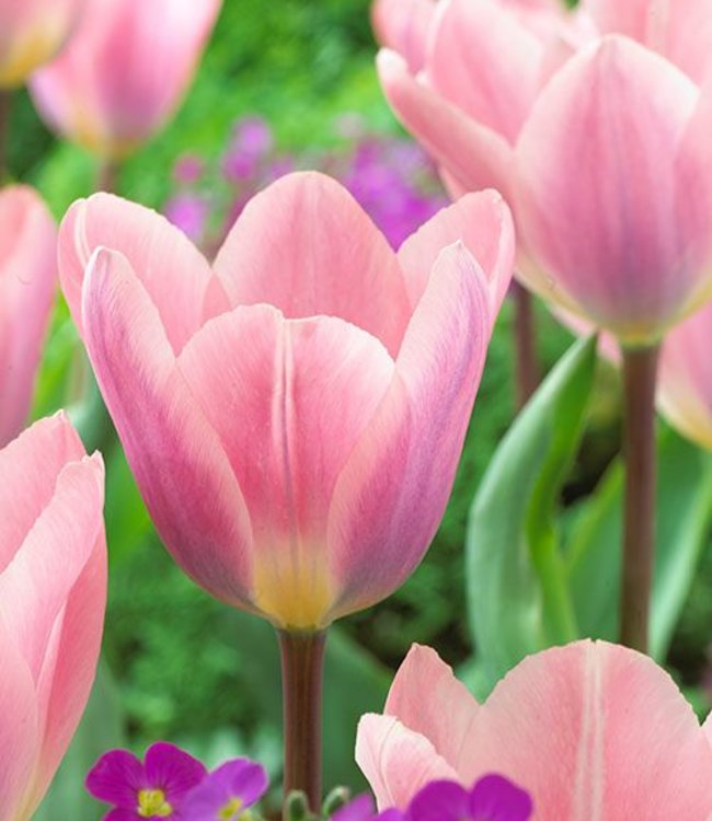Tulip Light and Dreamy