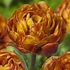 Tulip Brownie