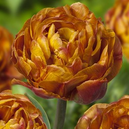 Tulp Brownie