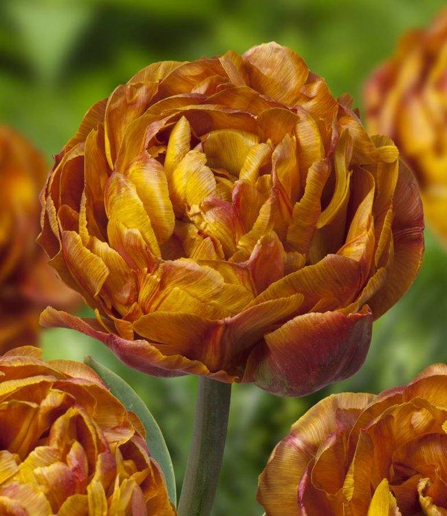 Tulipe Brownie