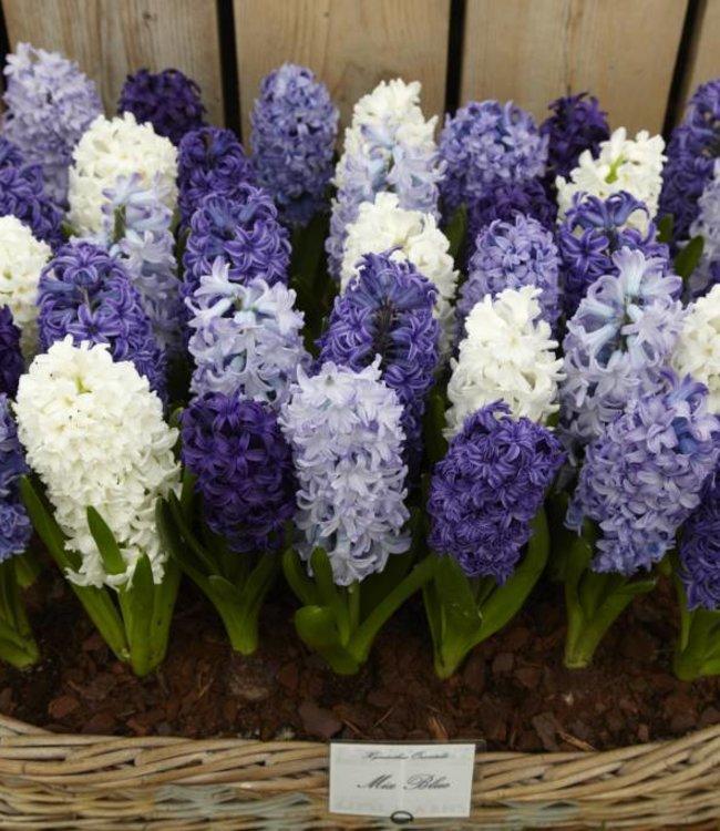 Hyacinths mixture Blue Romance