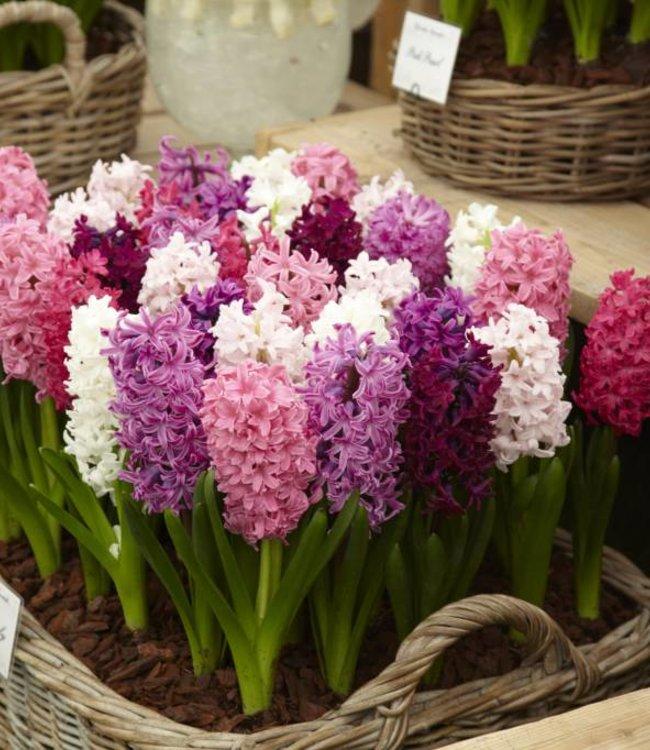 Hyacintenmix Pink Romance