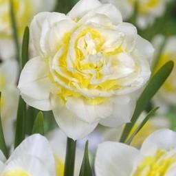 Нарцисс Lingerie