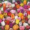 Tulip Store 75 days Tulips Mix