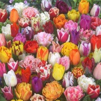 Микс тюльпанов «75 дней» от Tulip Store