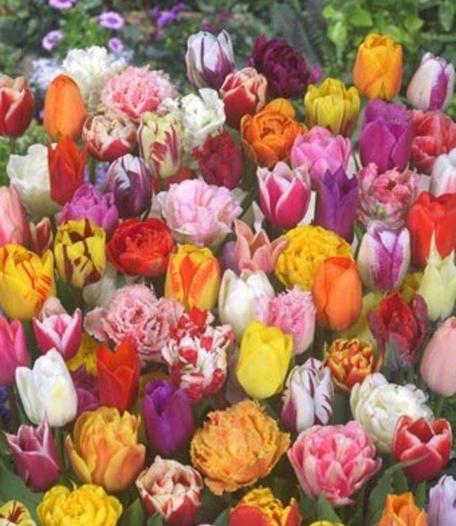 Tulip Store 75 jours Mélange de tulipes
