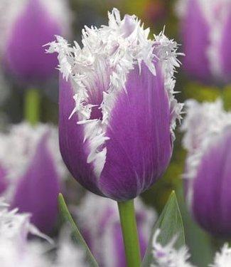 Tulip Cummins