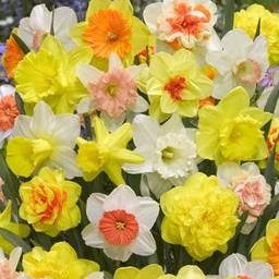 Tulip Store 75 days Narcissus Mix