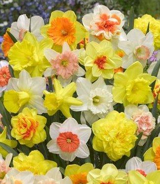 Mélange de jonquilles Tulip Store 75 days Narcissus Mix