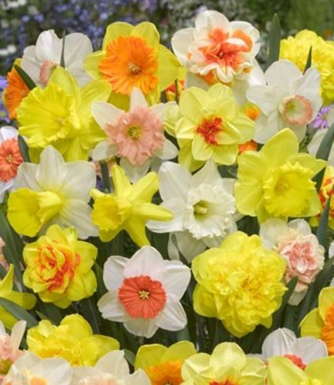 Tulip Store 75 jours Narcissus Melange