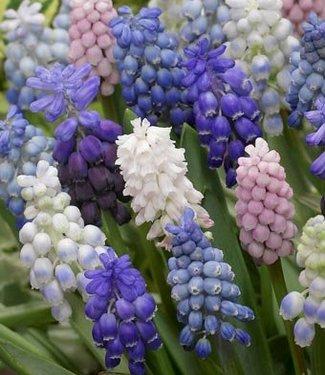 Grape hyacinths mixture