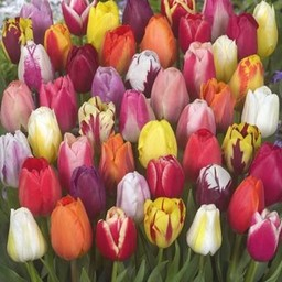 Микс тюльпанов Color Parade