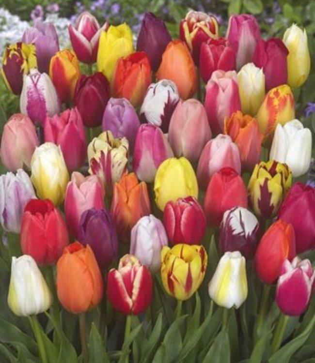 Tulip mixture Color Parade
