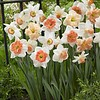 Narcissen mix Pink Family