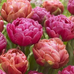 Tulip mixture Best Friends
