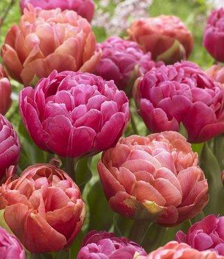 Mélange de tulipes Best Friends