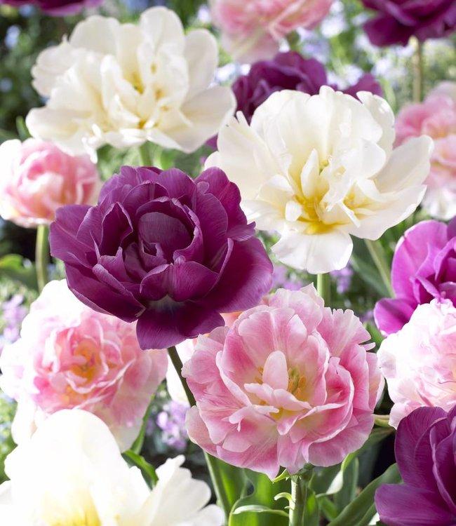 Mélange de tulipes On Stage