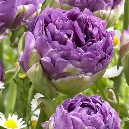 Тюльпан Blue Wow