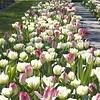 Tulip mixture Dream Carpet