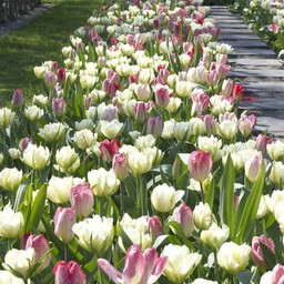Tulip mixture Dream Carpet