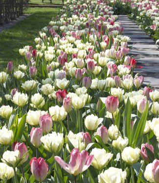 Tulpen Mischung Dream Carpet