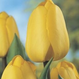 Tulip Golden Parade