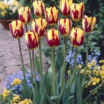 Tulipa Helmar