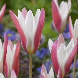Тюльпан Lady Jane