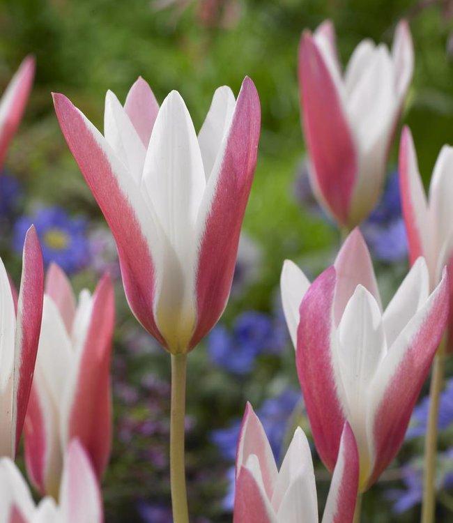 Tulipe Lady Jane