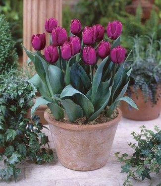 Tulipe Purple Prince