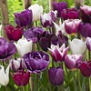 Tulip mixture Purple Explosion