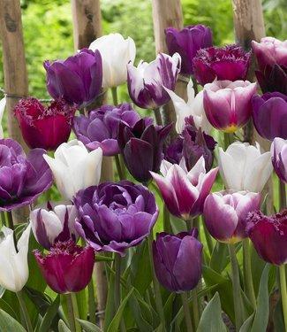 Tulip mixture Purple Explosion