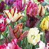 Tulip mixture Parrot Party
