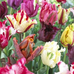 Tulip mixture Parrot Party