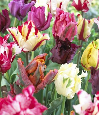 Tulipes melange Parrot Party