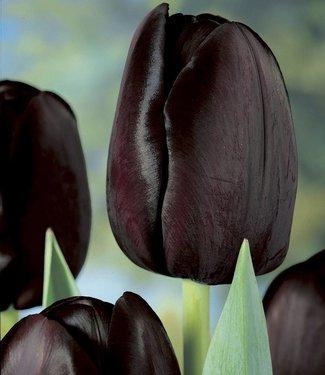 Tulipe Queen of Night