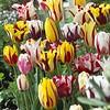 Tulip mixture Rembrandt Selection