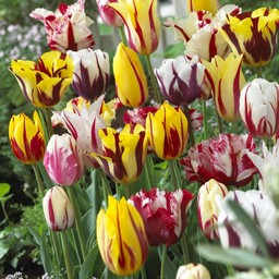 Tulip mixture Rembrandt Selection