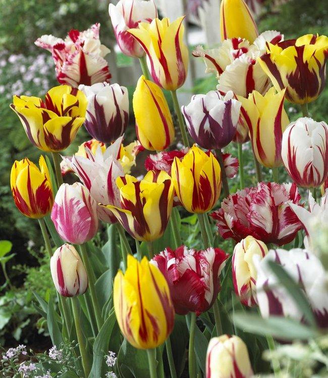 Mélange de tulipes Rembrandt Selection