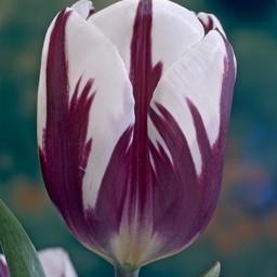 Тюльпан Rem's Favourite