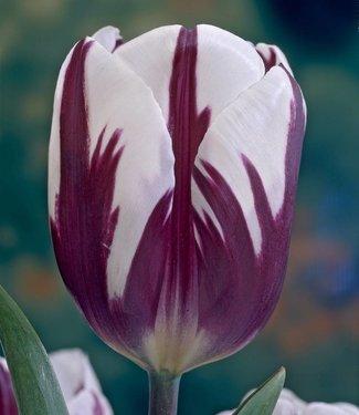 Tulip Rem's Favourite