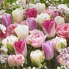 Tulip mixture Romantic Spring