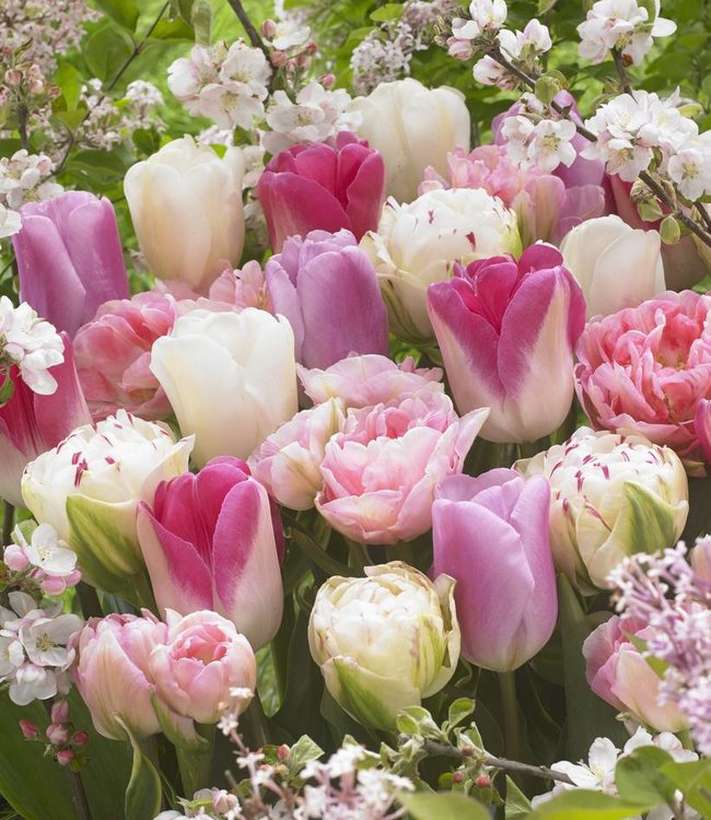 Mélange de tulipes Romantic Spring