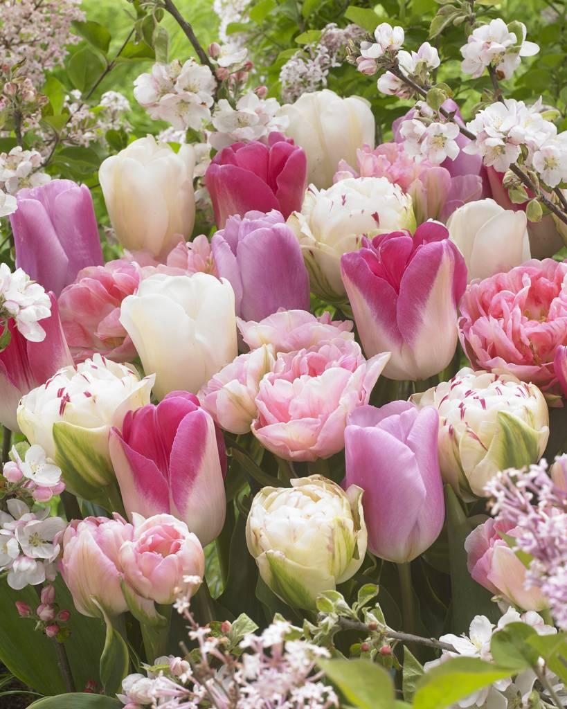 Wonderful White Mix Tulip Bulbs Spring Flowering Tulips 100