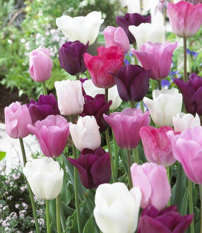 Mélange de tulipes Pretty in Pink