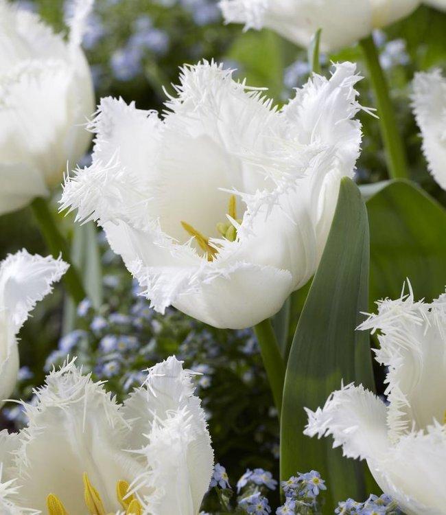 Tulipe Signature