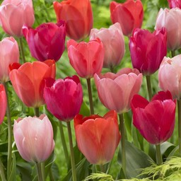 Tulip mixture Family van Eijk